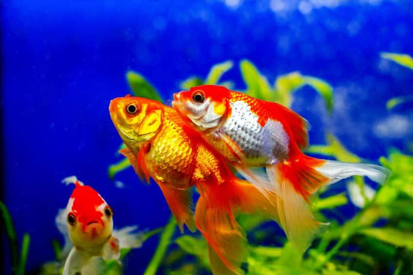 金魚はなぜ「金」魚?に関する雑学
