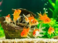 金魚のオスは、恋をするとニキビができるという雑学