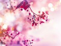 「桜味」の正体は、味ではなく香りだったという雑学