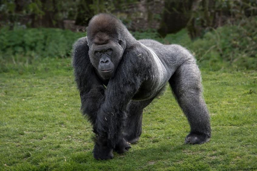 チンパンジーは凶暴でゴリラは温厚である。というトリビア