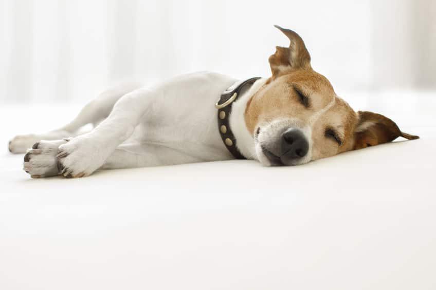 """足をピクピク…犬も""""夢""""を見るんです。かわいすぎ。【動画あり】についての雑学まとめ"""