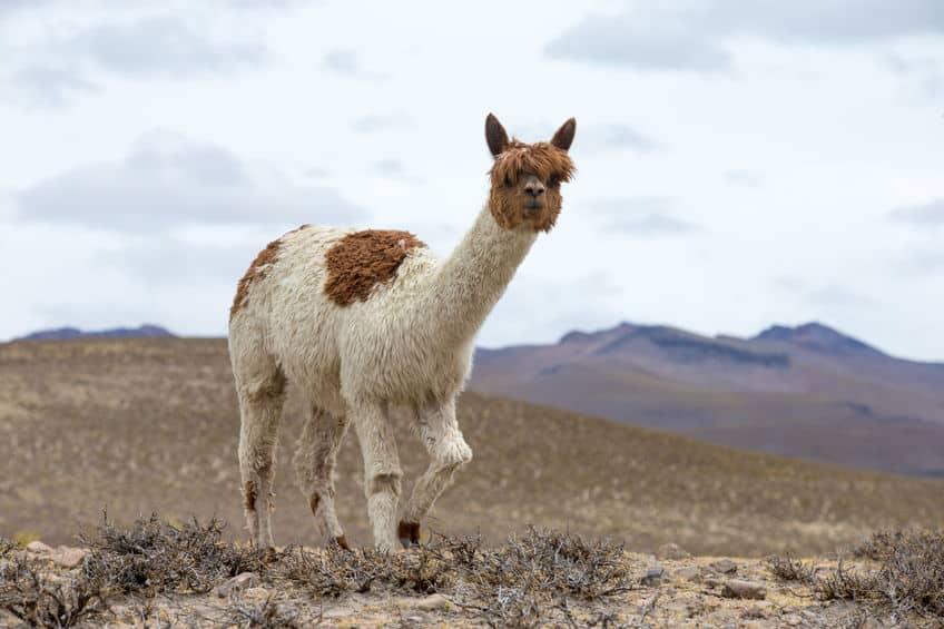 アンデス山脈には多くの動物たちがいるというトリビア