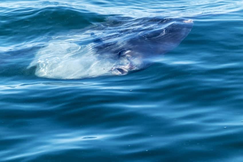 マンボウの英名はsunfishについてのトリビア