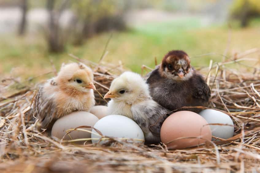 鳥の卵はその形によって転がらないようになっているというトリビア