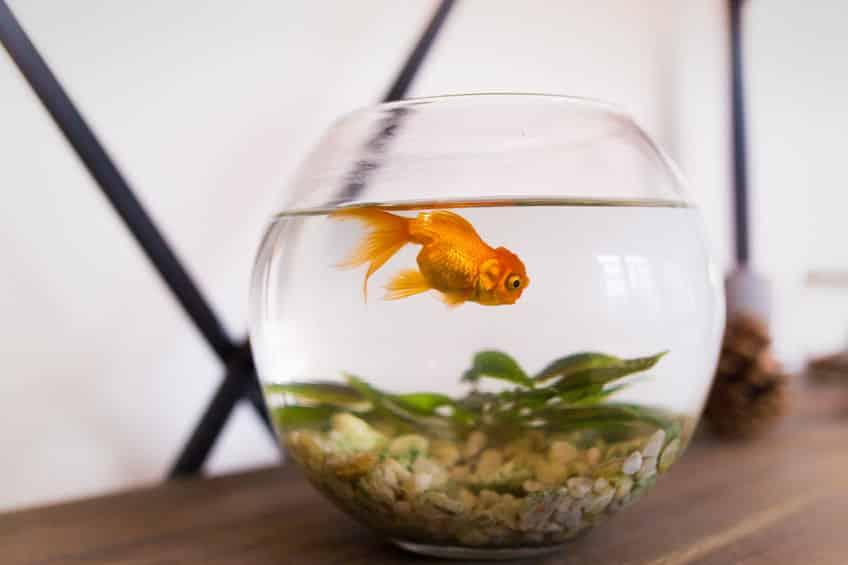 恋する思春期!金魚のオスは繁殖期になるとニキビができるという雑学まとめ