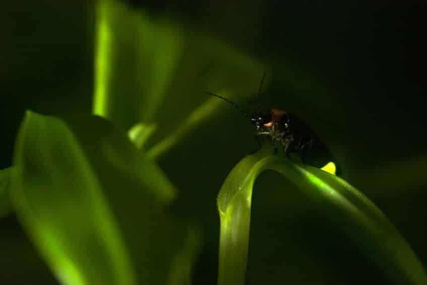 日本のホタルのうち光る種は5分の1しかいない?に関する雑学