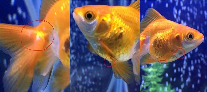 金魚のオスは繁殖期に白い点が現れるというトリビア