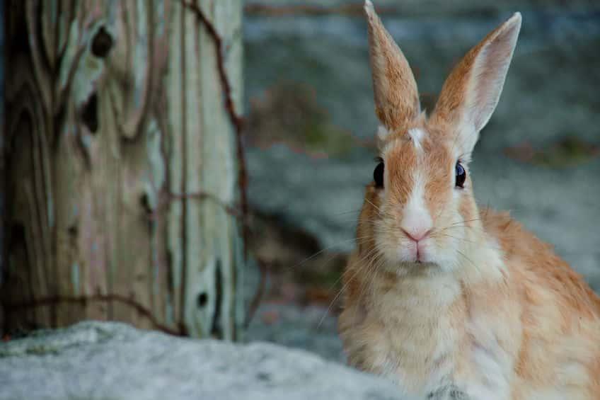 ウサギは動物イチ性欲が強い!?というトリビア