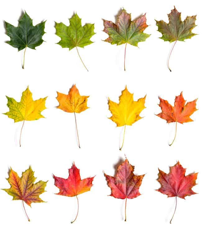 葉が赤くなるのはO型、黄色くなるのはAB型というトリビア