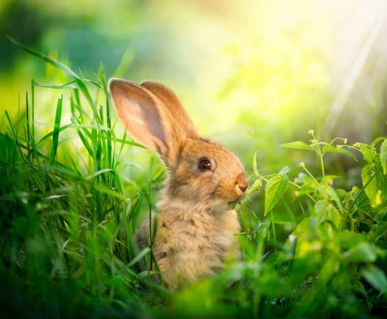 ウサギは一度植物を消化しただけでは、栄養を吸収しきれないというトリビア