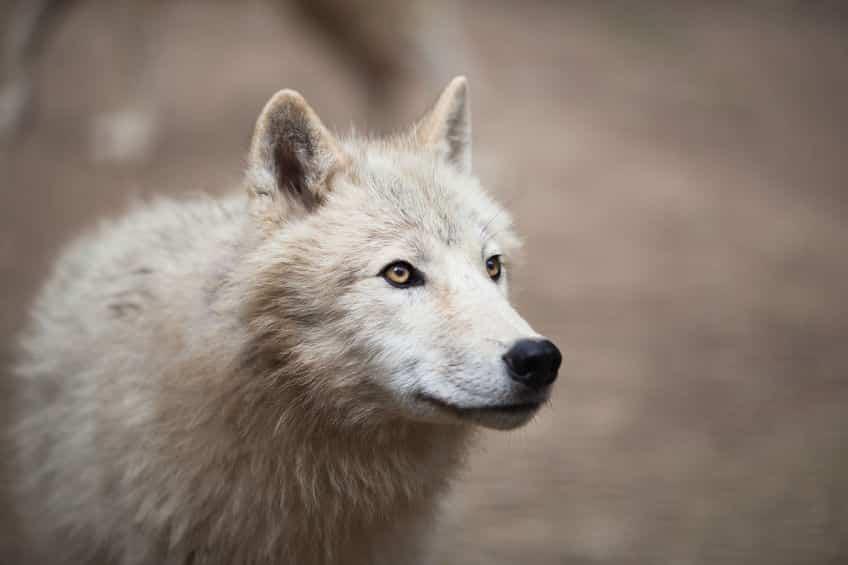 イヌの誕生はオオカミの家畜化から始まったというトリビア