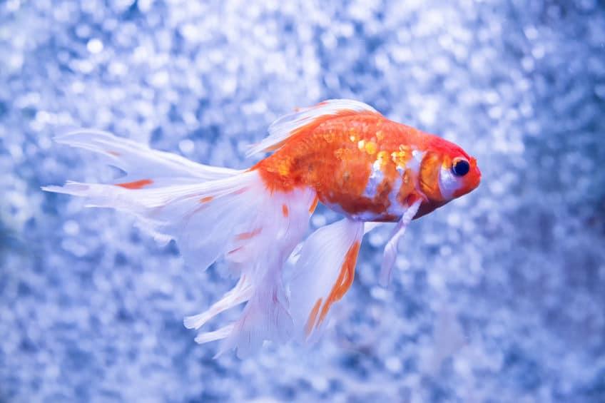 金魚は1000年以上前から金魚と呼ばれていたというトリビア