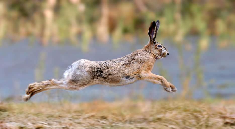 ウサギは足の速さと繁殖の速さで繁栄したというトリビア