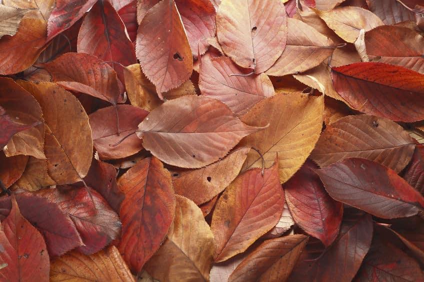 雪と寒さから身を守るために落ち葉が多くなるというトリビア