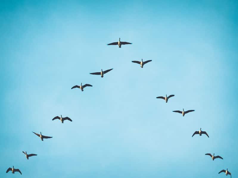 人間も見習いたい、渡り鳥の省エネV字飛行についてのトリビア