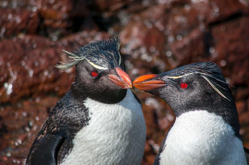 人間も見習いたい!ペンギンには遠距離恋愛が得意な種がいる【イワトビペンギン】についての雑学まとめ