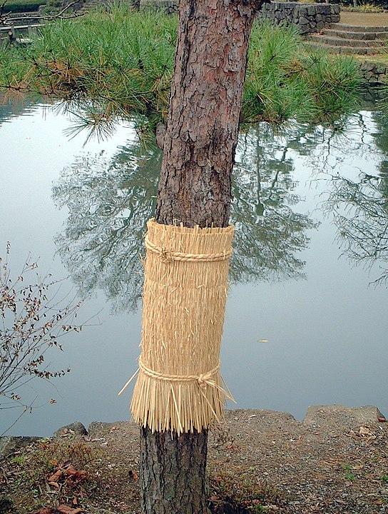 冬になると、松にワラを巻くのはなぜ?に関する雑学