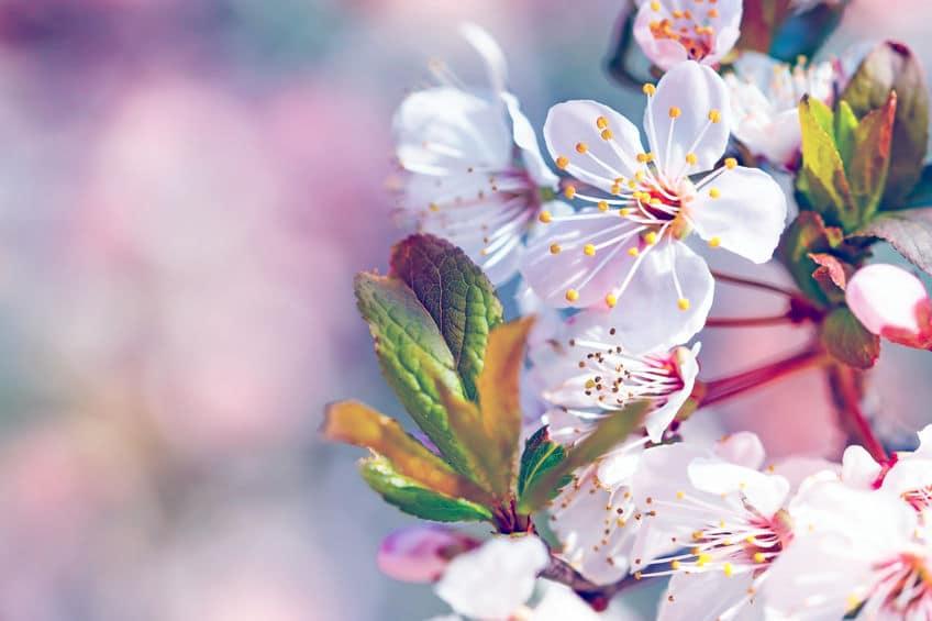 """ソメイヨシノが""""花が先で葉っぱがあと""""なのはなぜ?という雑学まとめ"""
