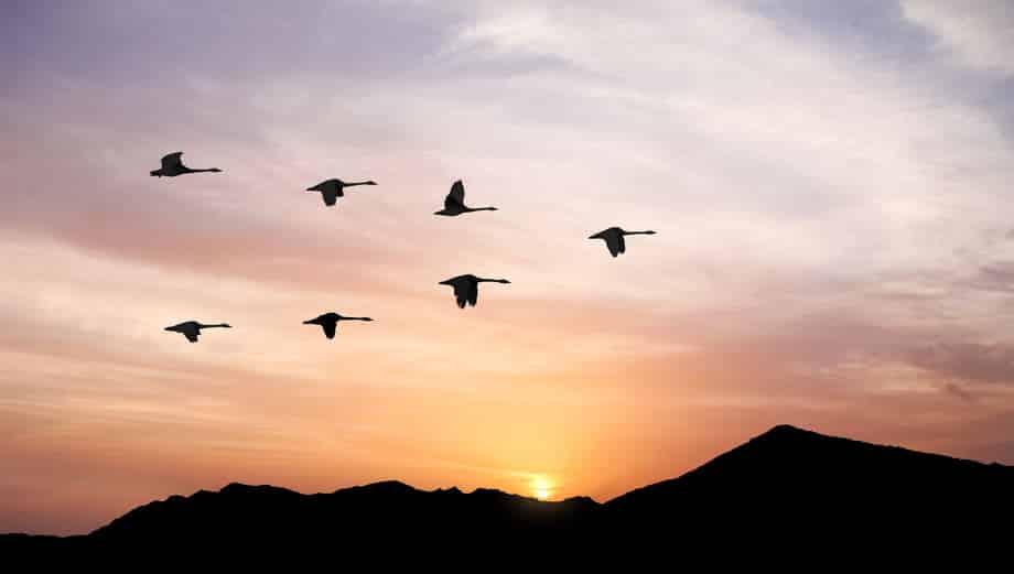 渡り鳥の群れがV字飛行で飛ぶ理由に関する雑学