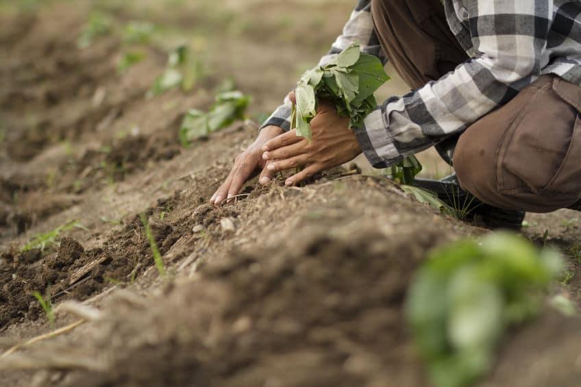 うんちが肥料として使われなくなった理由についてのトリビア