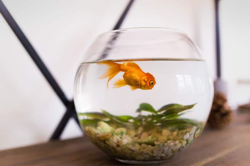 鱗が光った?黄金と同じ価値?金魚の名前の由来、知ってます?というトリビアまとめ