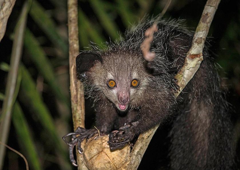 「アイアイ」は、マダガスカル島固有の貴重な原猿種についてのトリビア