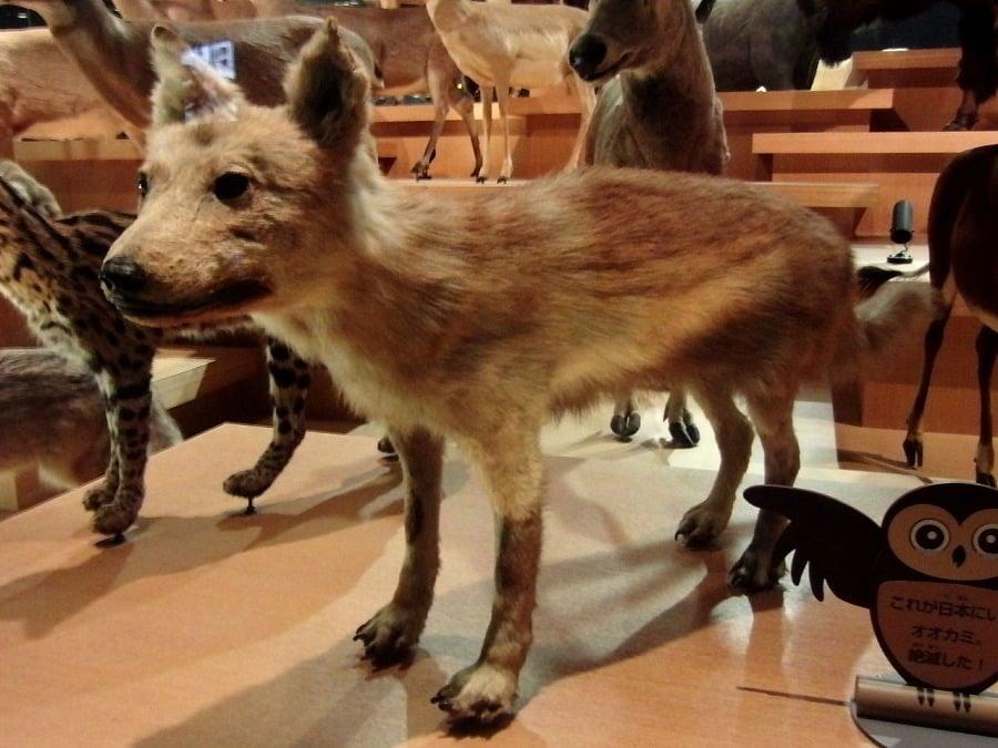 絶滅したニホンオオカミの剥製は国内に3体しか現存していないというトリビア
