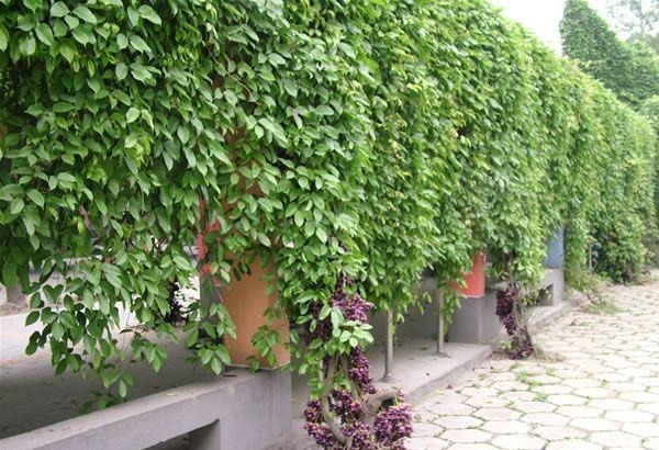 アイラトビカズラの成長の早さを生かした緑化計画についてのトリビア