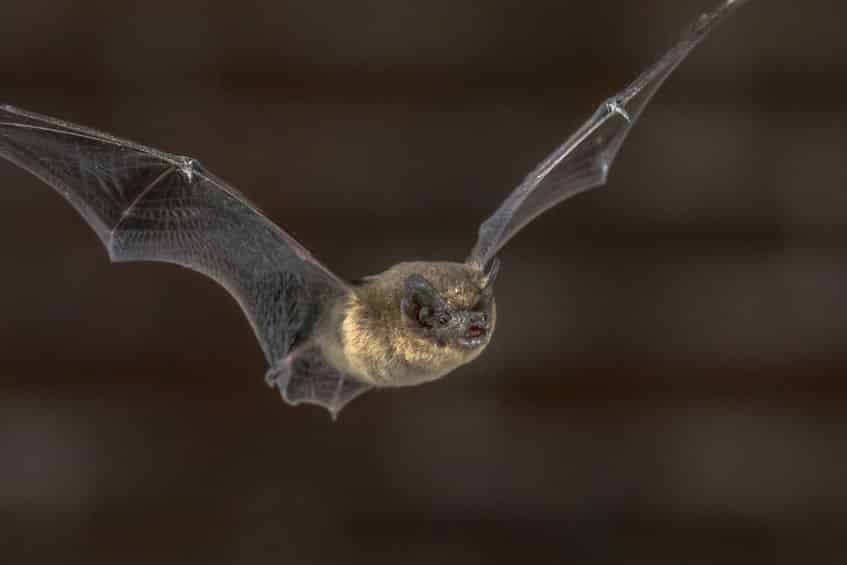 コウモリの翼は、羽ではなく「手」と「腕」という雑学