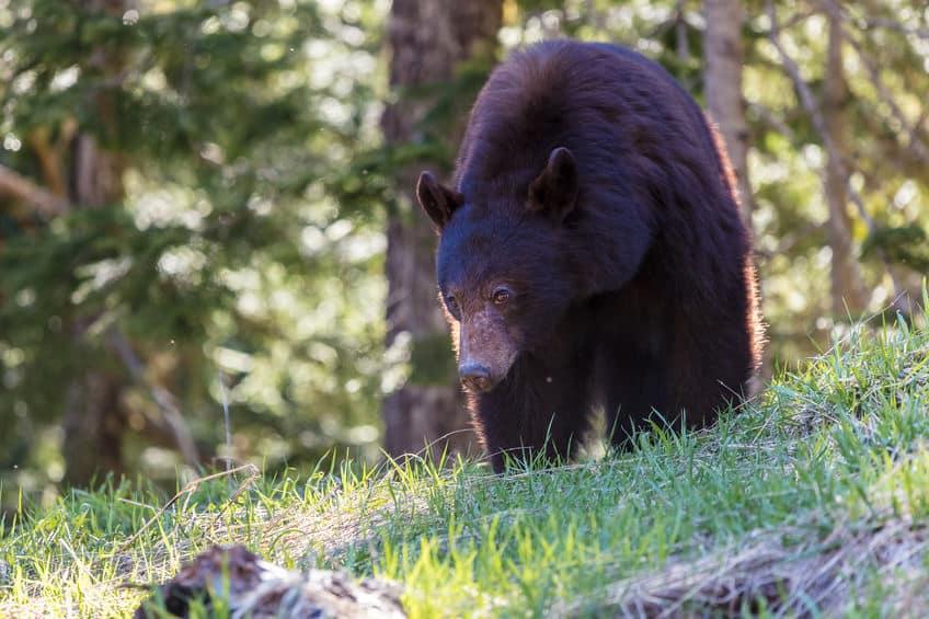 クマの冬眠は寝ているのではなくボケーっと過ごしているという雑学