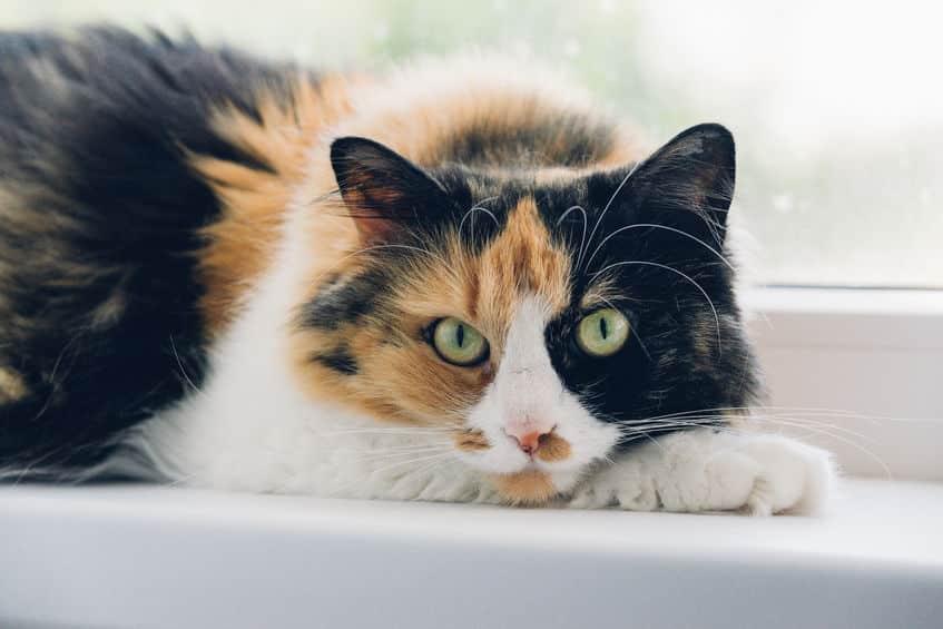 三毛猫のオスが生まれる確率はとっても低いという雑学