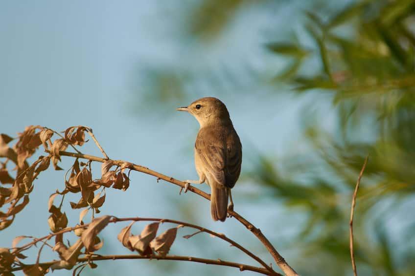ウグイスの「ホーホケキョ」は繁殖期のオスだけが出す鳴き声であるという雑学