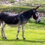 「ラバ」はメスの馬とオスのロバから産まれた動物という雑学