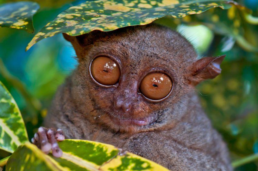 メガネザルの目は、眼球が大きすぎて頭蓋骨との間にすきまがないというトリビア