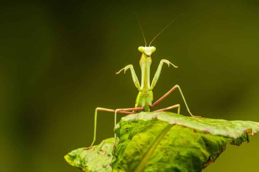 カマキリの別名はおがみ虫という雑学
