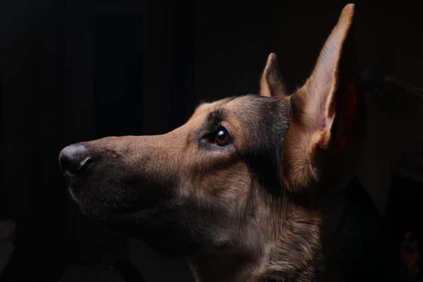 がんのニオイをかぎ分ける犬が研究されているという雑学