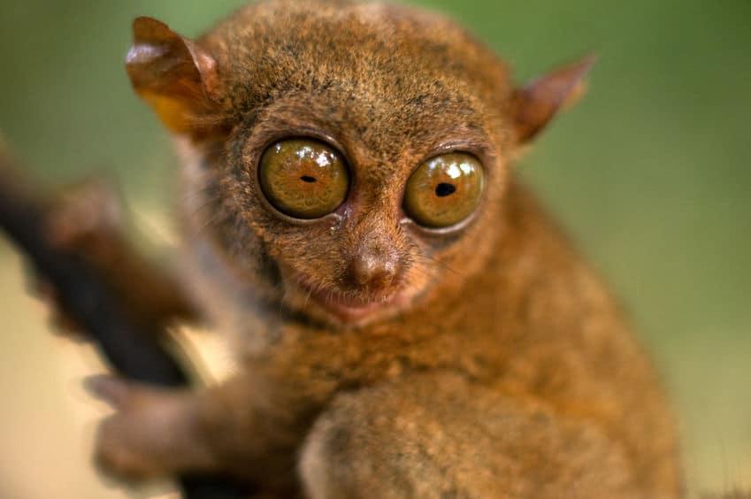 世界最小のメガネザル「ターシャ」は、ストレスで自殺してしまうというトリビア