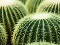 サボテンのトゲの正体は葉っぱという雑学