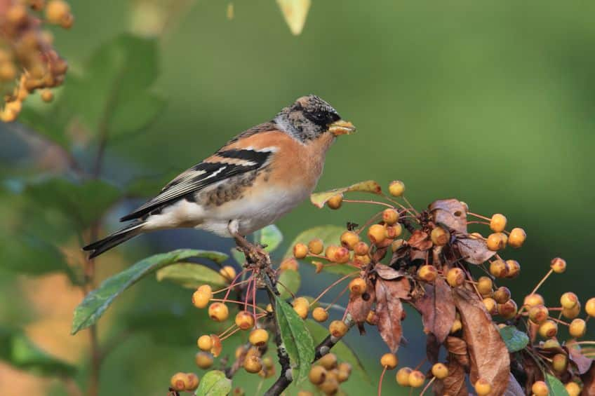 植物と鳥の共存!木の実が派手な色なのはなぜかというトリビアまとめ