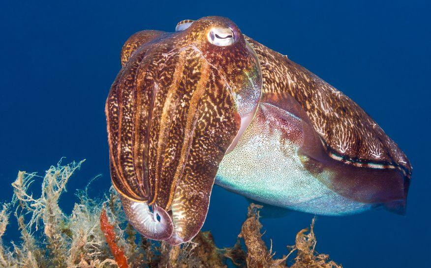 イカの足10本のうち2本は「触腕」といわれる足という雑学