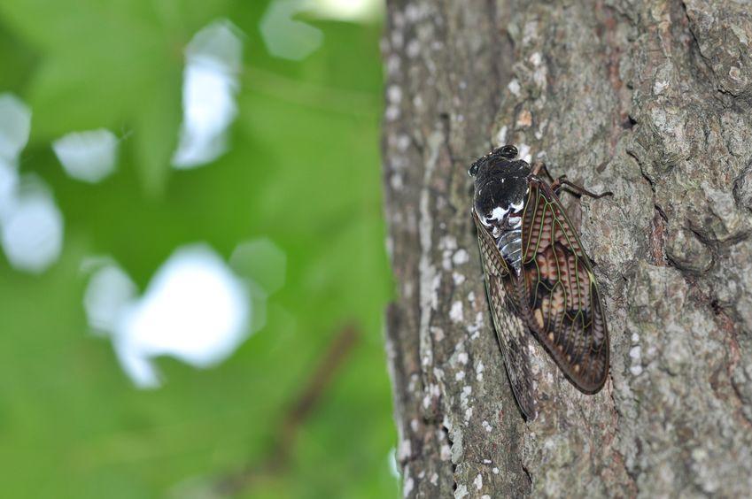 セミの成虫は、実は一ヶ月ほど生きているというトリビア