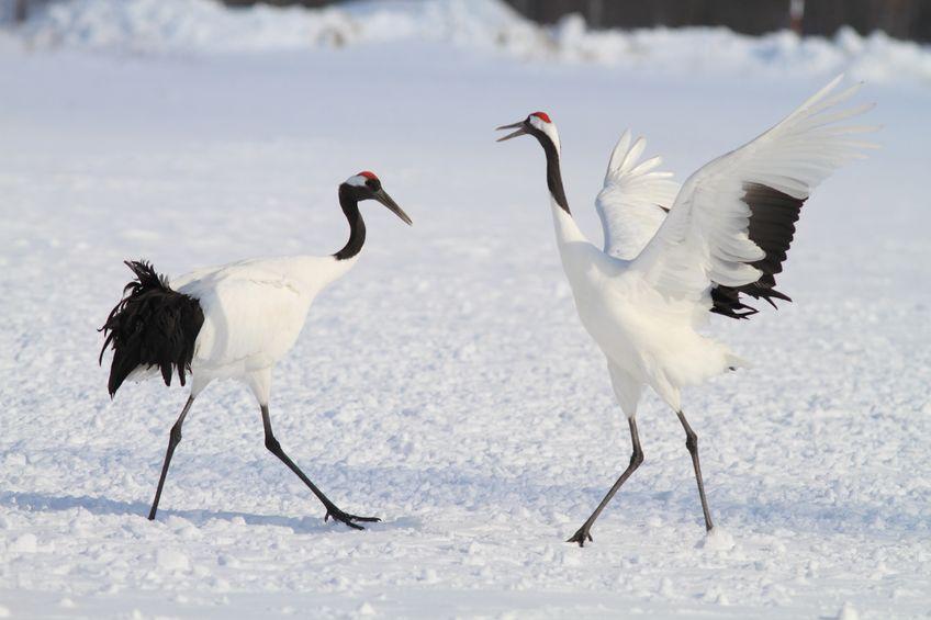 仲睦まじいツルの夫婦のダンスと鳴き合いについてのトリビア