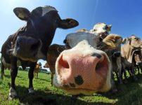 牛は鼻紋で個体を特定できるという雑学
