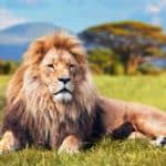ライオンは自分で捕まえるより獲物を横取りすることが多いという雑学