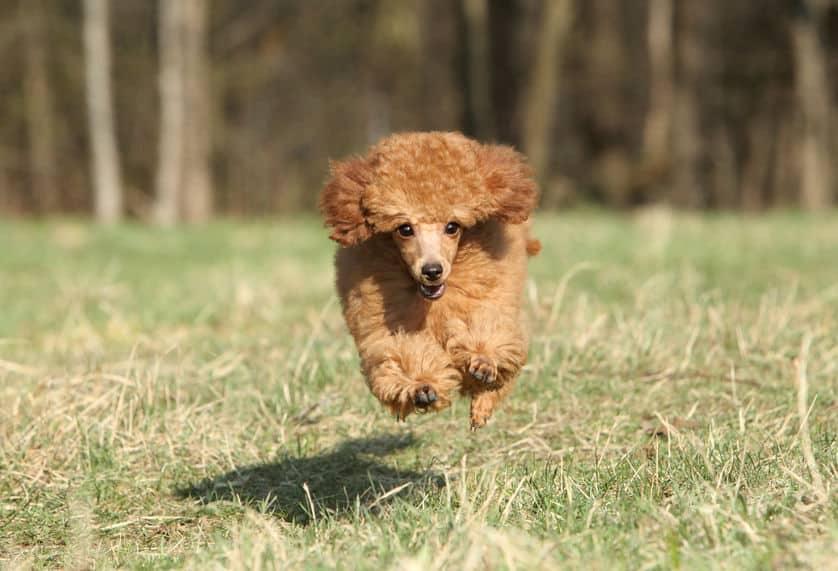 プードルは毛が抜けにくい犬種であるというトリビア