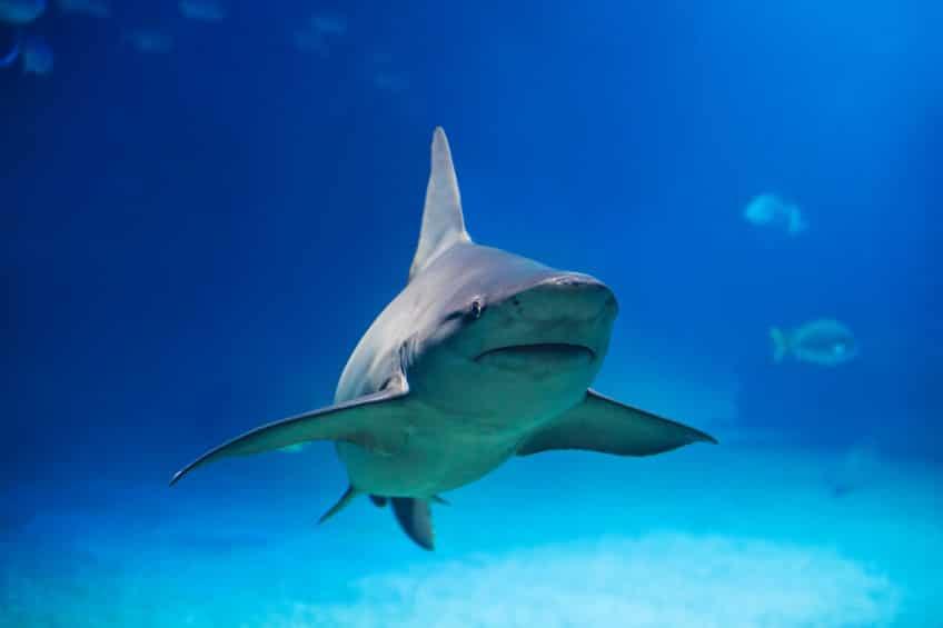 サメはお腹がすいていなければ、エサを食べないというトリビア