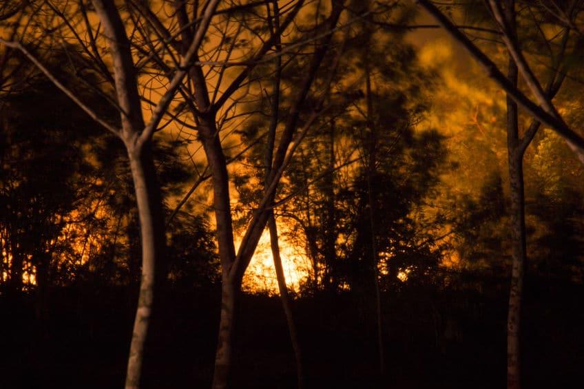 バンクシアは山火事で焼かれることで発芽していくというトリビア