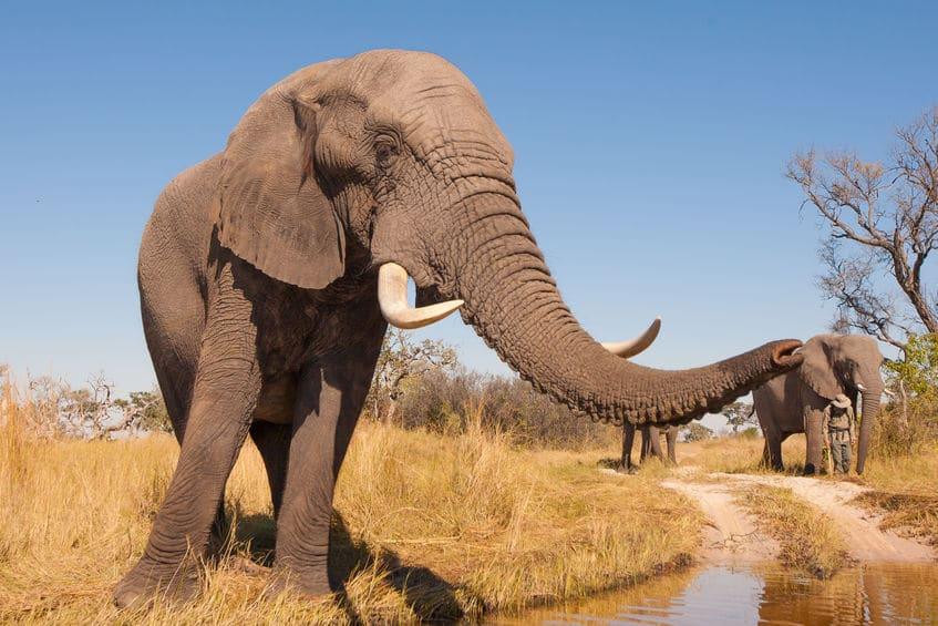 ゾウの嗅覚は犬の2倍、人間の5倍もすぐれているというトリビア