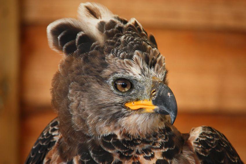 世界最強の猛禽類は何かというトリビア
