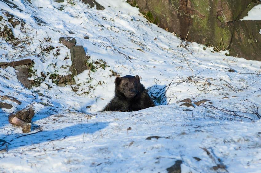 ボケー…。クマは冬眠中にも起きておりゴロゴロしている【動画あり】についての雑学まとめ